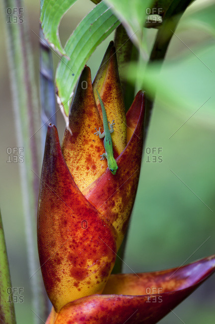 Day Gecko (Phelsuma madagascariensis) on a tropical flower; Hawaii, United States of America