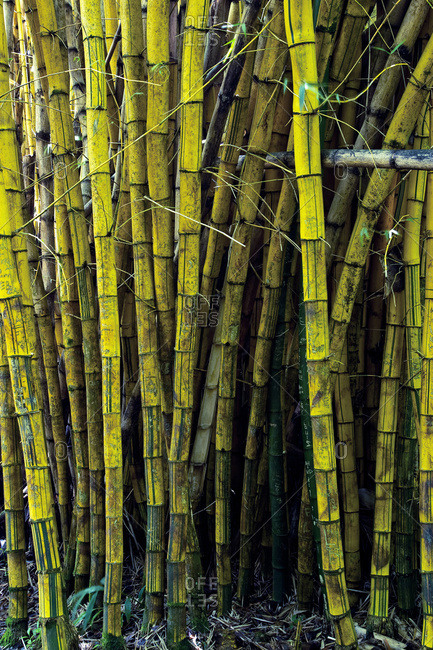 Bamboo plants; Hawaii, United States of America