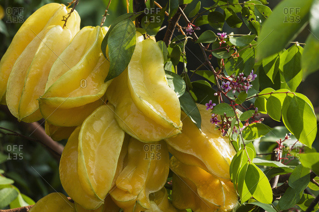 Star fruit (Averrhoa carambola); Captain Cook, Island of Hawaii, Hawaii, United States of America