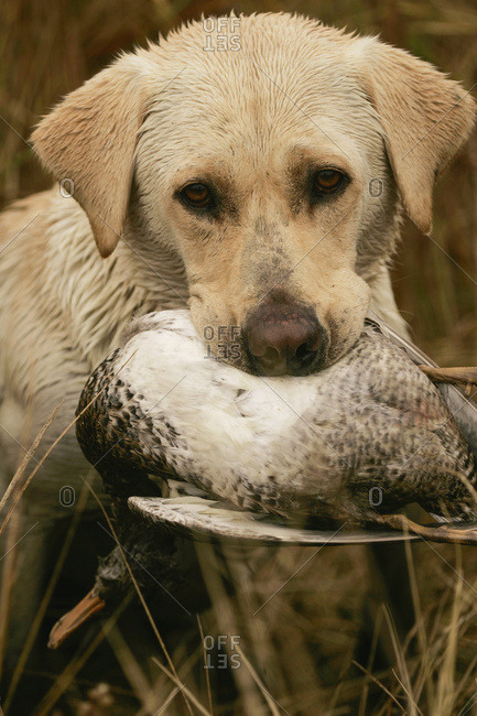 Yellow Lab Puppy Holds A Duck In Mouth