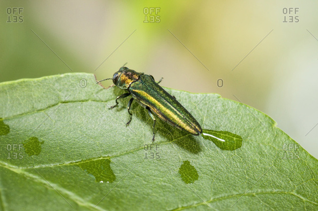 Emerald Ash Borer (Agrilus planipennis), feeding on ash leaves in tree top; Oak Creek, Wisconsin, United States of America