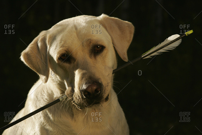 Yellow Lab Retriever Finds Arrow