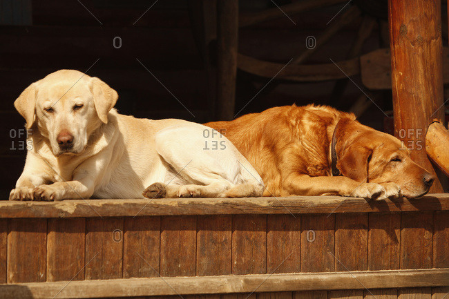 Tired Red Lab With Yellow Lab Sunning On Porch
