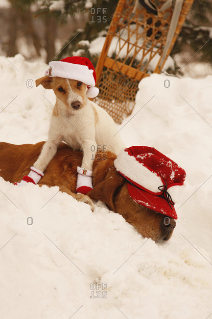 Jack Russell Terrier In Christmas Hat Sits On Rusty Lab