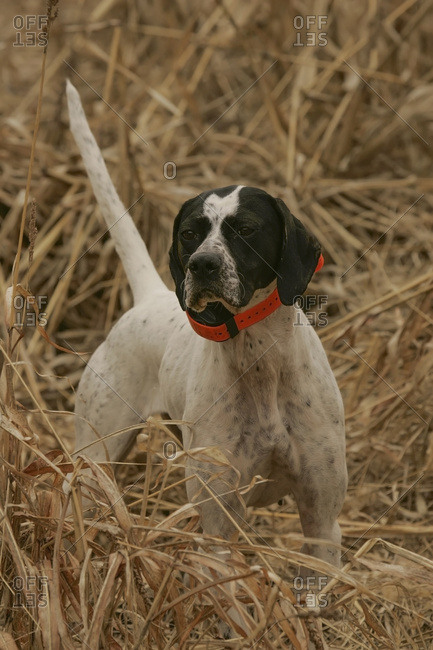English Pointer In The Field