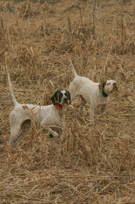 English Pointers In The Field
