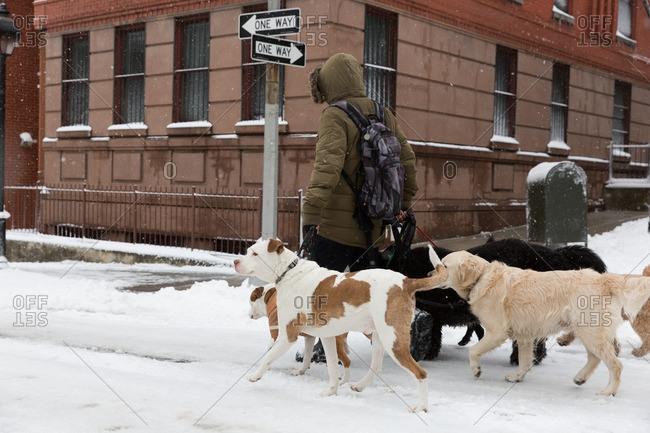 New York City, New York - February 9, 2017: Dog walker on a snowy sidewalk