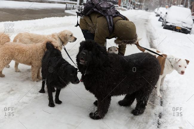 New York City, New York - February 9, 2017: Dog walker on snowy sidewalk