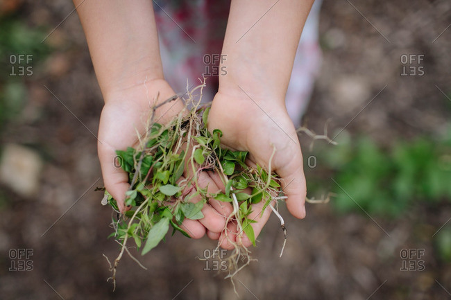 Girl with handful of weeds