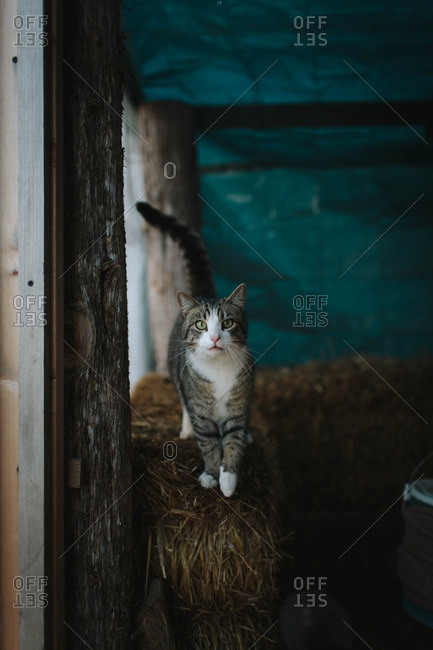 Cat on hay bales in shed