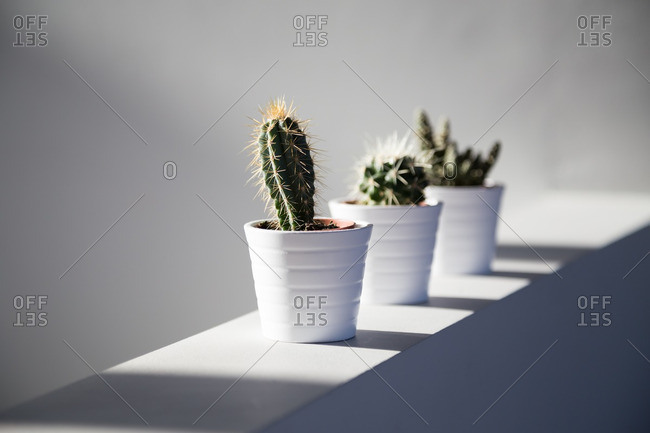Cactus plants on wall in sunlight
