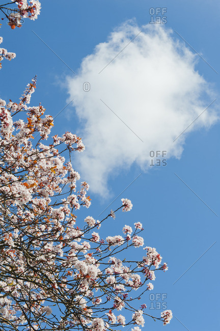 Cherry blossoms against a blue sky with cloud
