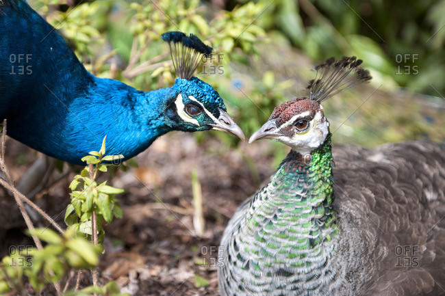 A peacock and peahen with beaks together
