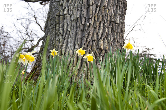 Daffodils growing around the base of a Garry Oak tree