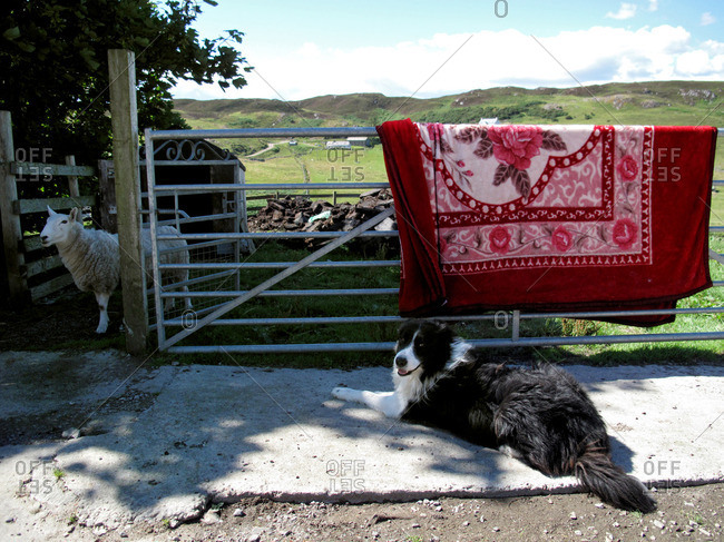 Border collie dog sitting in front of a fence with a red flower blanket and a sheep