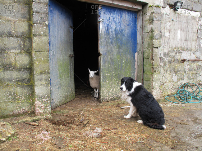 Black and white border collie dog sits with a sheep in the doors of a blue barn