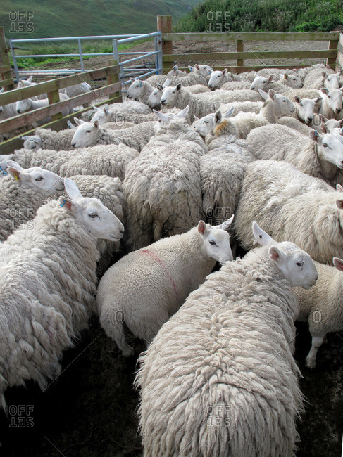 Herd of sheep read to be sheared
