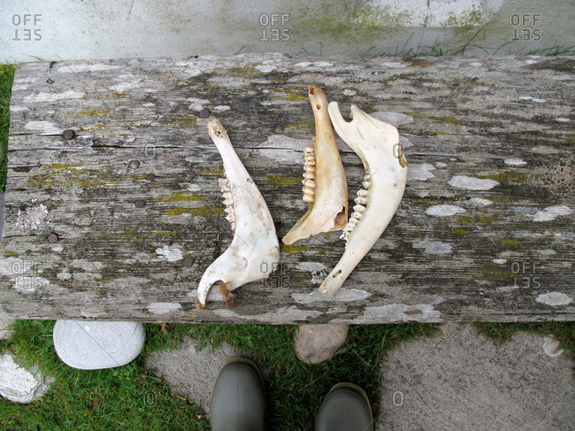 Sheep jaw bones on a wood bench