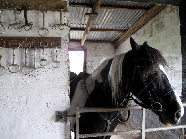 Horse bits on a wall of a stable with a black and white horse
