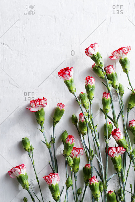 Red and white carnations on a white background