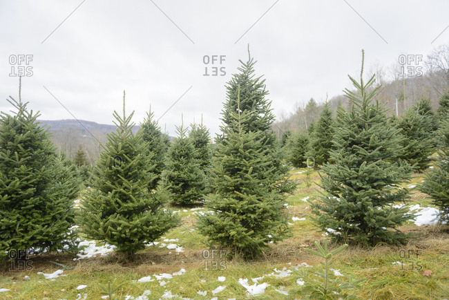 Pine trees on a Christmas tree farm