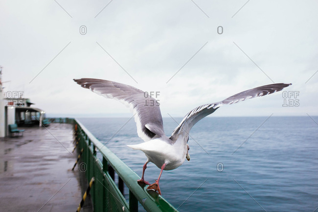 Seagull with wings spread about to take off in flight from railing on ferry in Puget Sound