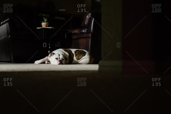 Sleepy bulldog lying on floor