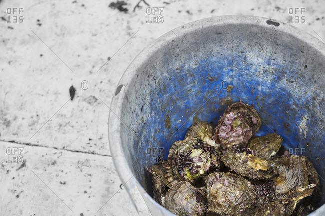 Traditional Sustainable Oyster Fishing A bucket full of oysters