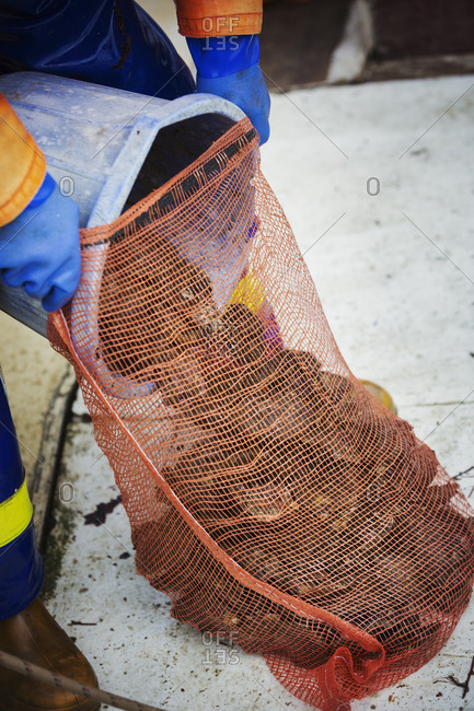 A fisherman pouring harvested oysters into a net bag for sale, traditional sustainable oyster fishing on the River Fal