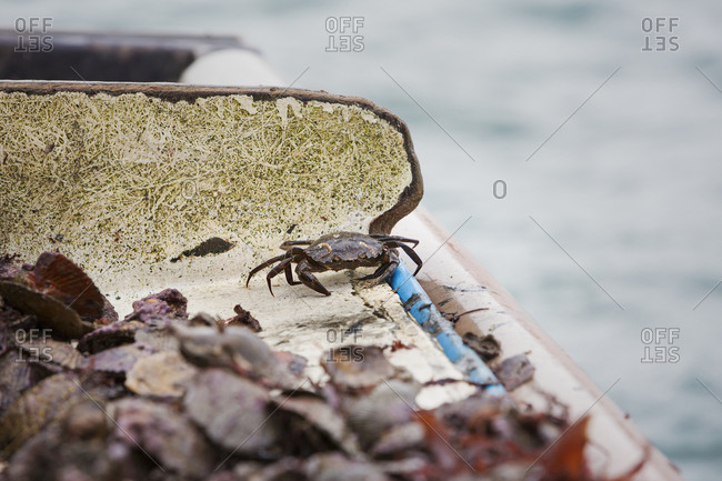 Traditional Sustainable Oyster Fishing Small dark shelled crab among shells