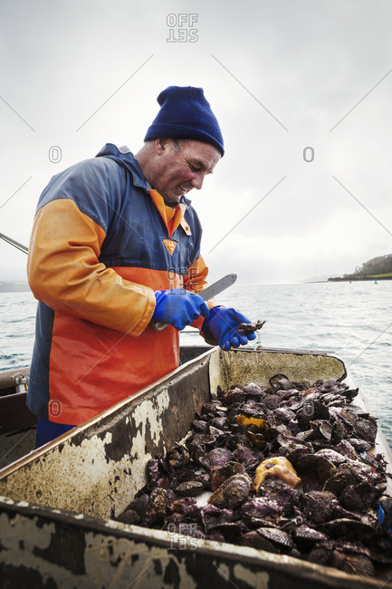 A fisherman working on a boat deck, sorting out oysters and other shellfish Traditional sustainable oyster fishing on the River Fal