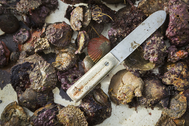A rounded bladed oyster knife and shells