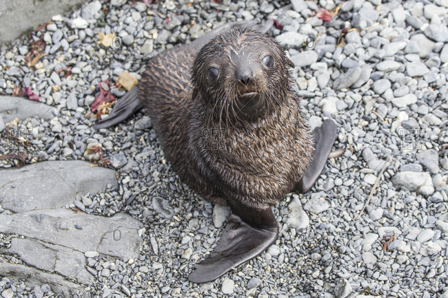 A fur seal pup on Prion Island in the sub Antarctic South Georgia