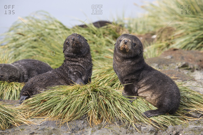 Fur seal pups on Prion Island in the sub Antarctic South Georgia