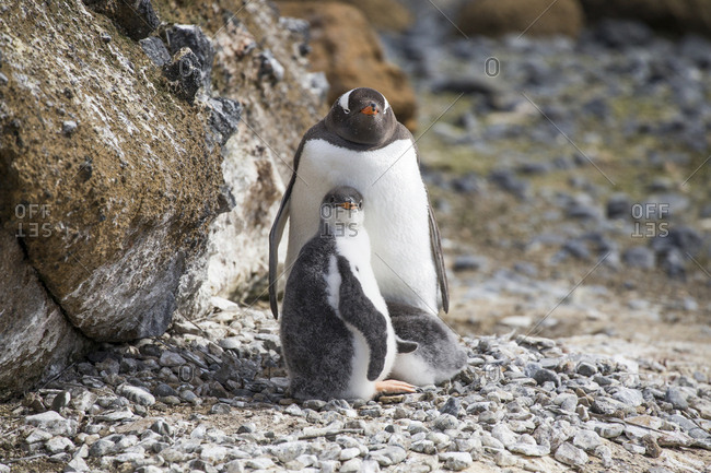 A Gentoo penguin and chicks at Brown Bluff in Antarctic Sound
