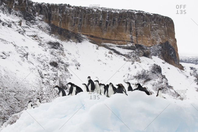 Adelie penguins huddle on an iceberg near Brown Bluff on the Antarctic mainland