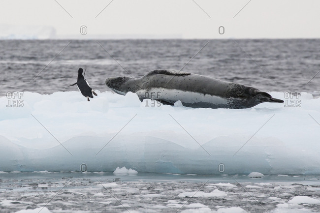 A brave adelie penguin gets dangerously close to a resting leopard seal on an iceberg at Gourdin Island, Antarctica