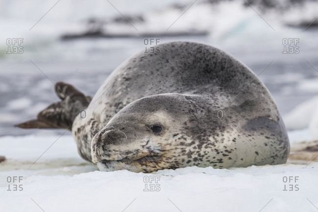 A resting leopard seal, the penguin predator of the Antarctic