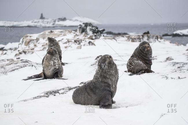 A gang of male fur seals on Gourdin Island, Antarctica