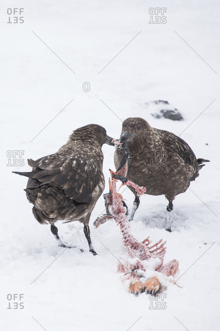 Two skuas tear apart the carcass of a penguin at Gourdin Island, Antarctica