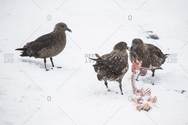 Skuas tear apart the carcass of a penguin at Gourdin Island, Antarctica
