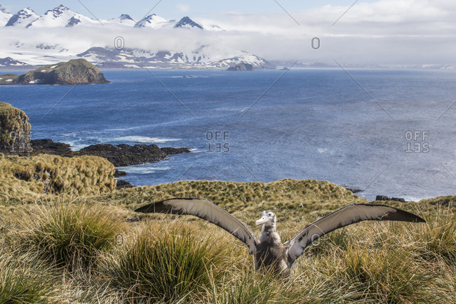 A wandering albatross chick considers taking flight on Prion Island in South Georgia