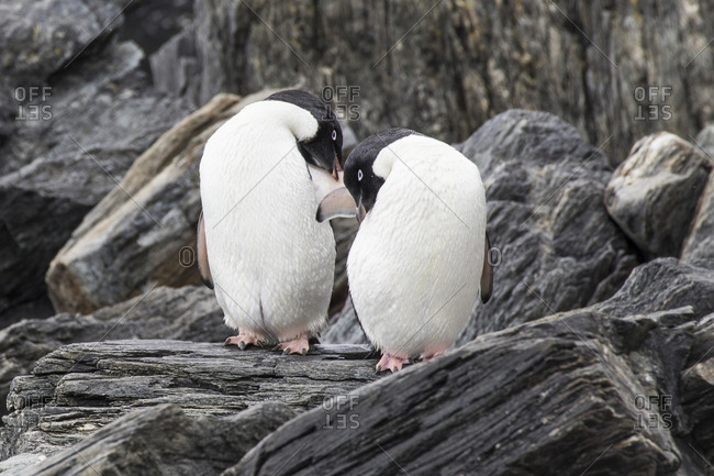 Adelie penguins on Coronation Island in the remote South Orkney Islands
