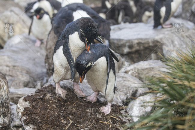 Mating rock hopper penguins at the colony on West Point Island in the Falkland Islands