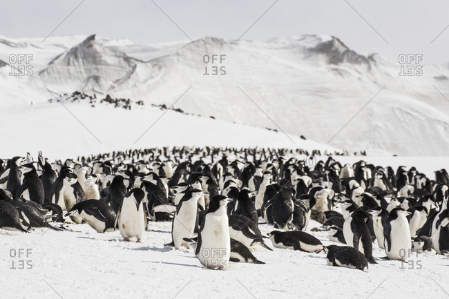 The chinstrap penguin colony at Baily Head on Deception Island