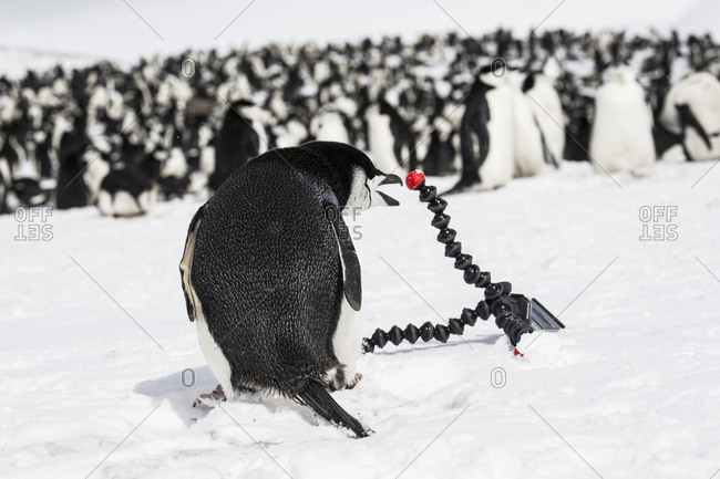 A chinstrap penguin attacks a tripod at Baily Head on Deception Island