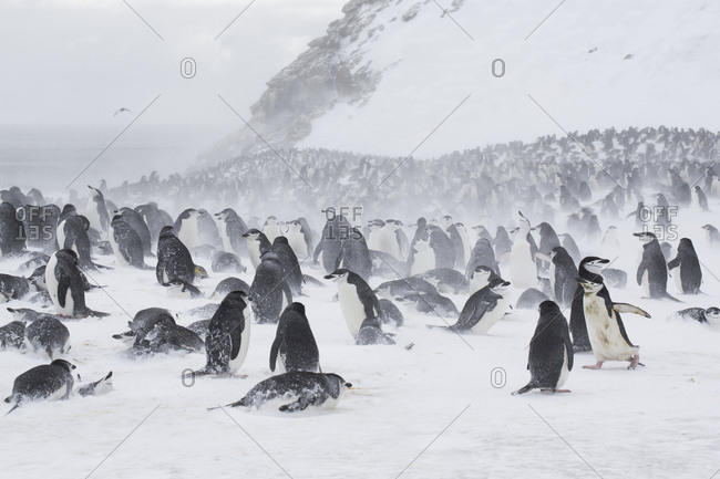 Tens of thousands of chinstrap penguins at Baily Head on Deception Island, South Shetland Islands, Antarctica