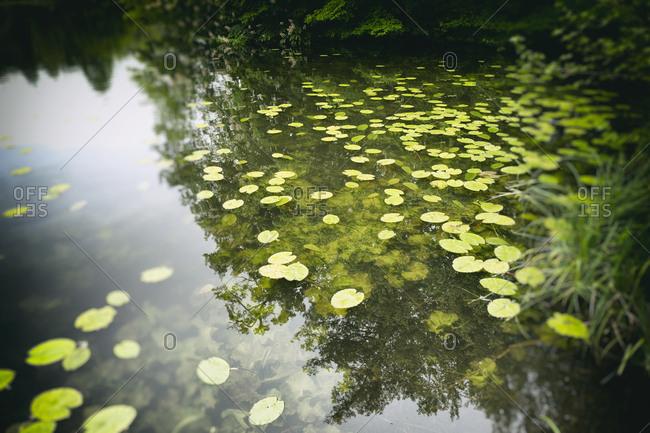 Pond lake water lily lotus leaf leaves floating
