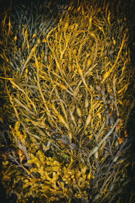 Seaweed close up yellow detail beach background