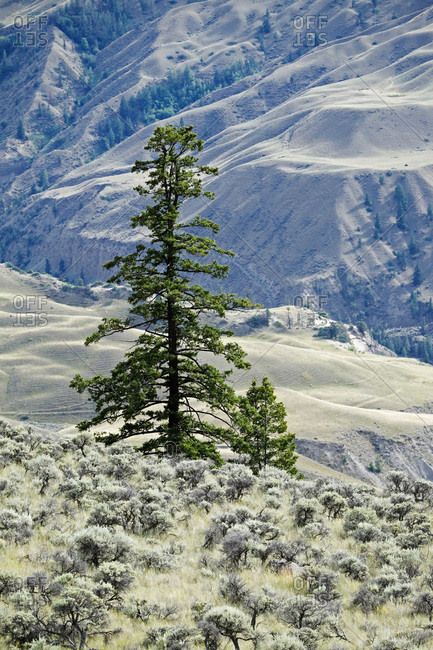 Evergreen trees on rangeland with Cariboo Mountains in the background, Cariboo Region of British Columbia, Canada